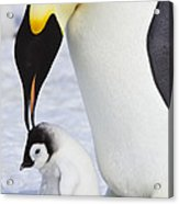 Emperor Penguin And Chick Acrylic Print