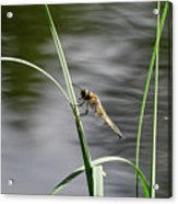 Four-spotted Chaser Acrylic Print