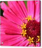 Fuchsia Pink Zinnia From The Whirlygig Mix Acrylic Print