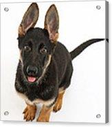 German Shepherd Puppy Acrylic Print