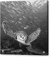 Green Sea Turtle  Acrylic Print