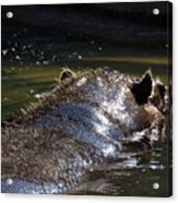 Hippo Acrylic Print by Thea Wolff
