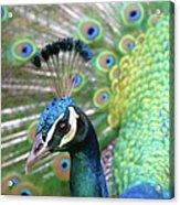 Indian Blue Peacock Acrylic Print