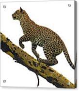 Leopard Panthera Pardus Climbing Acrylic Print