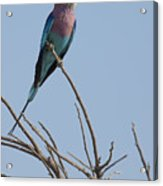 Lilac Breasted Roller On The Hunt Acrylic Print