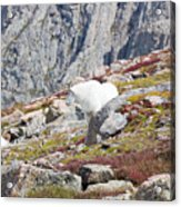 Mountain Goats On Mount Bierstadt In The Arapahoe National Fores Acrylic Print
