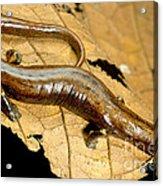 Nauta Palm Foot Salamander Acrylic Print