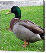 New Zealand - Male Mallard Duck Acrylic Print