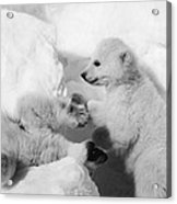 Polar Bear Cubs Acrylic Print