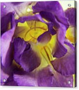 Purple Freesia Acrylic Print