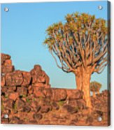Quiver Tree Forest - Namibia Acrylic Print