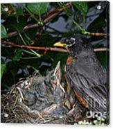 Robin Feeding Its Young Acrylic Print
