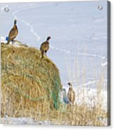 4 Roosters And A Hen Acrylic Print