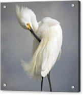 Snowy Egret Marco Island Florida Acrylic Print