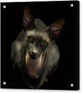 Sphynx Cat Portrait Acrylic Print