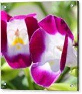 Torenia Named Kauai Magenta Acrylic Print