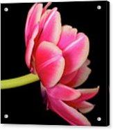 Tulip  Macro Acrylic Print