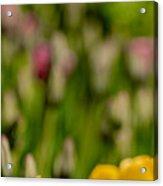 Tulips At Ottawa Tulips Festival Acrylic Print