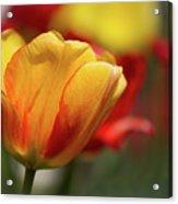 Tulips Acrylic Print
