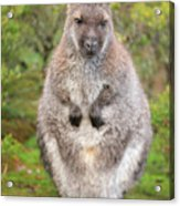 Wallaby Outside By Itself Acrylic Print