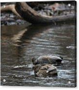 Waterfowl Acrylic Print