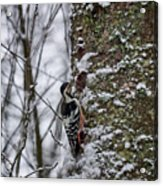 White-backed Woodpecker Acrylic Print
