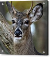 White Tailed Deer Smithtown New York Acrylic Print