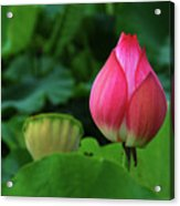 Blossoming Lotus Flower Closeup Acrylic Print