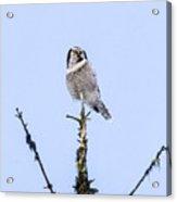 Hawk Owl Acrylic Print
