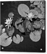 4425- Lily Pad Black And White Acrylic Print
