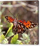 4529 - Butterfly Acrylic Print