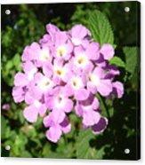 Australia - Pink Flowers Acrylic Print