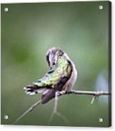 4864-002 - Ruby-throated Hummingbird Acrylic Print
