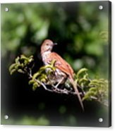 4979 - Brown Thrasher Acrylic Print