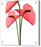 Anthurium Flowers, X-ray Acrylic Print