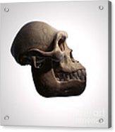 Australopithecus Skull Acrylic Print