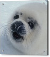 Baby Harp Seal On Hudson Bay Acrylic Print