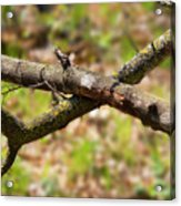 Bare Tree Branches In Early Spring Acrylic Print