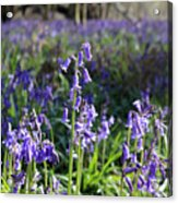 Bluebells Near Effingham In The Surrey Hills England Uk Acrylic Print