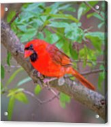 Cardinal Birds Hanging Out On A Tree Acrylic Print