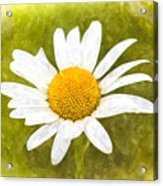 Chamomile Watercolor Acrylic Print