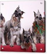 5 Christmas Schnauzers Acrylic Print