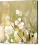 Dew In Grasses Acrylic Print