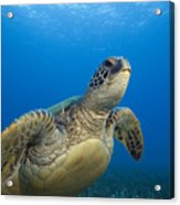 Hawaii, Green Sea Turtle Acrylic Print