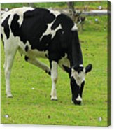 Holstein Cow On A Farm Acrylic Print