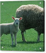 Lamb Chop With Mother Acrylic Print