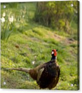 mr Pheasant Acrylic Print