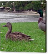 New Zealand - Mallard Ducks On The Grass Acrylic Print