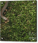 Northern Ringneck Snake Acrylic Print