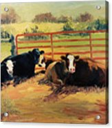 5 O Clock Cows Acrylic Print